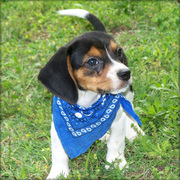 Our Available Tri-Color Beagle Puppies For Good Homes.