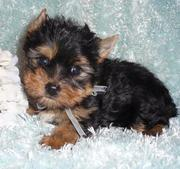 Adorable Tea Cup Yorkie Puppies For Free Adoption.