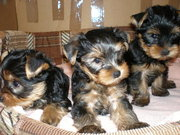 nice baby face Yorkie Puppies For Free Adoption